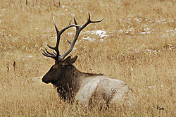Bull_Elk_at_Yellowstone.jpg