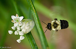 Bumble_Bee_Approaching-0798.jpg