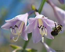 Bumble_Bee_At_Work_4.jpg