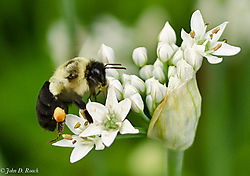 Bumble_Bee_and_Flower_7_Nikonian-0722.jpg