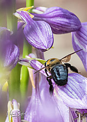 BumblebeeOnHosta_MDS_1266.jpg