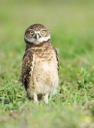 Burrowing-Owl_baby_72x1300_DRA0316.jpg