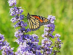 Butterflies21.jpg