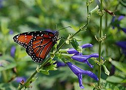 Butterfly2---Nik.jpg