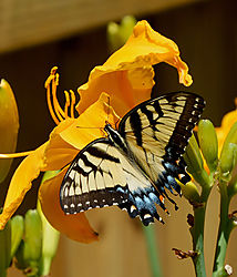 Butterfly_On_Day_Lilly_Photo_1.jpg