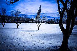 CHERRY_BLOSSOM_TREE.JPG