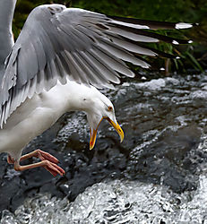 Call-of-the-Herring-Gull-.jpg