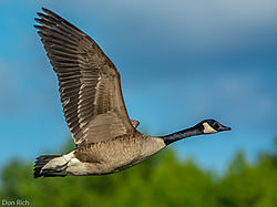 Canadian_Goose_Beauty.jpg