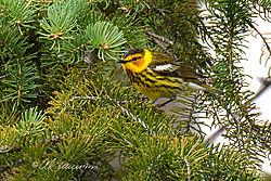 Cape-May-Warbler-_-web.jpg