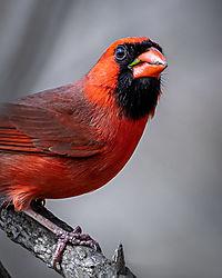 Cardinal-.jpg