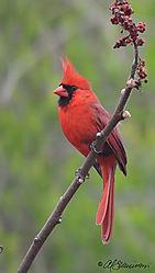Cardinal-Male-_-web.jpg