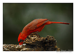 Cardinal-fEEding-EZy.jpg