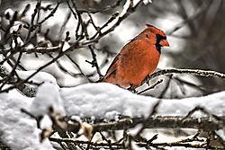 Cardinal_-_2.jpg