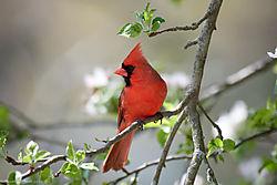 Cardinal_01.jpg