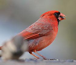 Cardinal_7671.jpg
