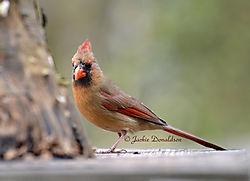 Cardinal_7707.jpg