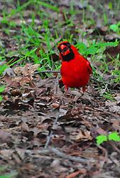 Cardinal_on_ground.jpg