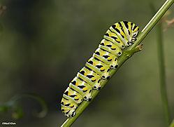 Caterpillar_BlackSwallowtail2_8-2-13.jpg