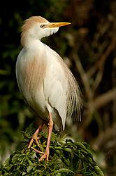 Cattle-Egret-Bubulcus-ibis.jpg