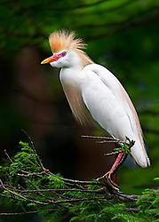 Cattle-Egret_breeding-plumage_72x1200_DRA6957.jpg
