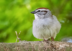 Chadwick_20200404_Chipping_Sparrow_0009-Edit-Edit.jpg