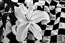 Checkerboard_Lilly.jpg