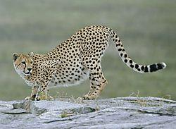 Cheetah_on_a_rock.jpg