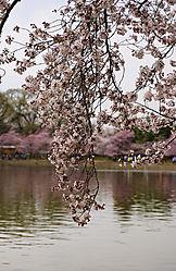 Cherry_Blossoms_r1.jpg