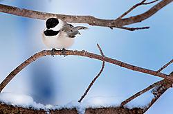 Chickadee-web.jpg