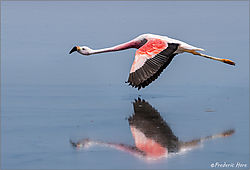 Chilean_flamingo_flying_low_crop_c_1000_8018949.jpg