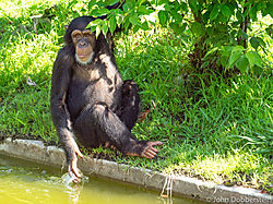 Chimp_Tulsa_Zoo.jpg