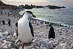 Chinstrap_penguin.jpg