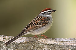 Chipping_Sparrow_02.jpg