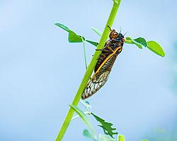 Cicada_-_Siloam_Springs.jpg
