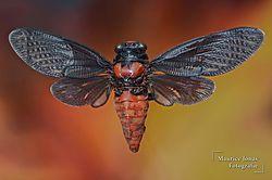 Cicada_1_001.jpg