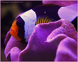 Clown_Fish_Coral_1.jpg