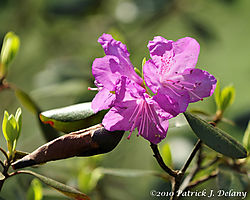 Connecticut_Rhododendron_01.jpg