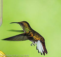 Coppery_headed_hummingbird.jpg