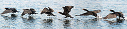 Cormorant_Flight.jpg
