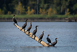 Cormorant_Hang_Out.jpg