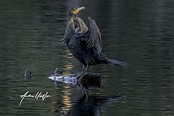 Cormorant_yellow_lake_-1.jpg