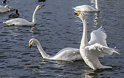 Courting_Whooping_Swans_1_of_1_-2.jpg