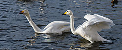 Courting_Whooping_Swans_1_of_1_-3.jpg