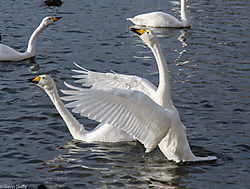 Courting_Whooping_Swans_1_of_1_.jpg