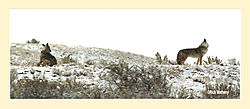 Coyote-Pano1.jpg