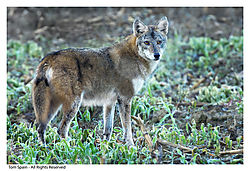 Coyote-Shelby-Farms.jpg