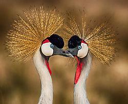 Crowned_Cranes-1.jpg