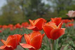 D200_Tulips_006.jpg