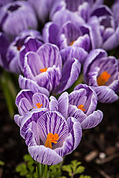 D75crocus_14_of_18_.jpg
