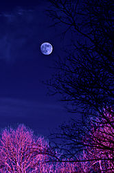 DORMANT_TREES_RISING_MOON.jpg